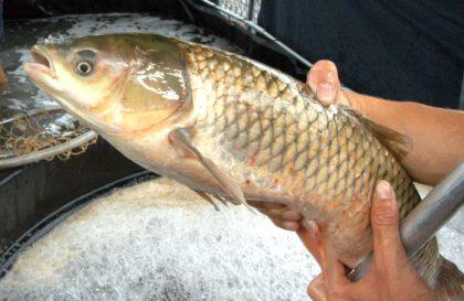 Feira-do-Peixe-reproducao