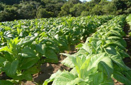 produção-tabaco-agricultura