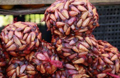 colheita-pinhao-pr