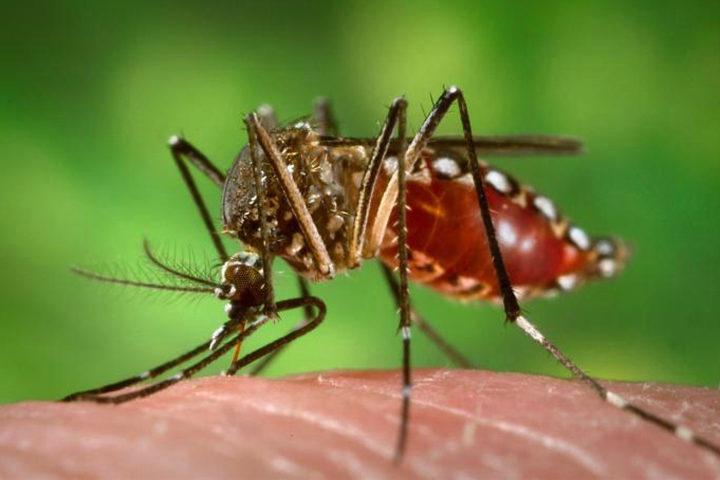 Fêmeas do Aedes aegypti transmitem doenças como dengue e zika por meio da picada em seres humanos (Foto: Divulgação / Portal Brasil).