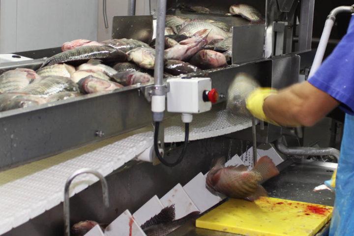 Produção de peixe deve crescer 22% no Paraná em 2016. (Foto Jonas Oliveira).