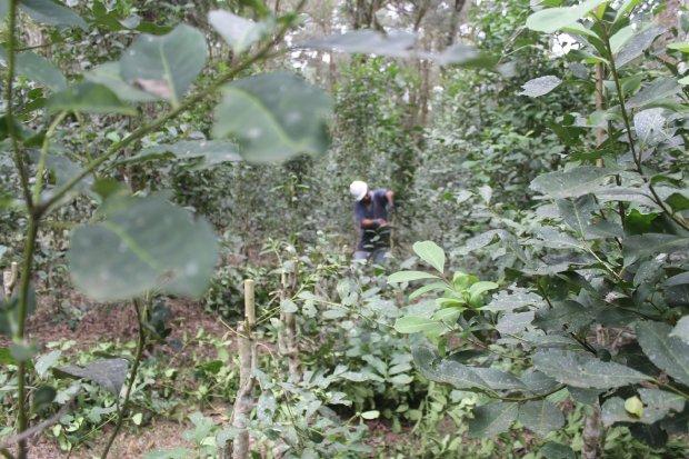 No Planalto Norte, a erva-mate é produzida em sistema agroflorestal, contribuindo para a manutenção de Araucária (Foto: Sérgio Teixeira/Secom).