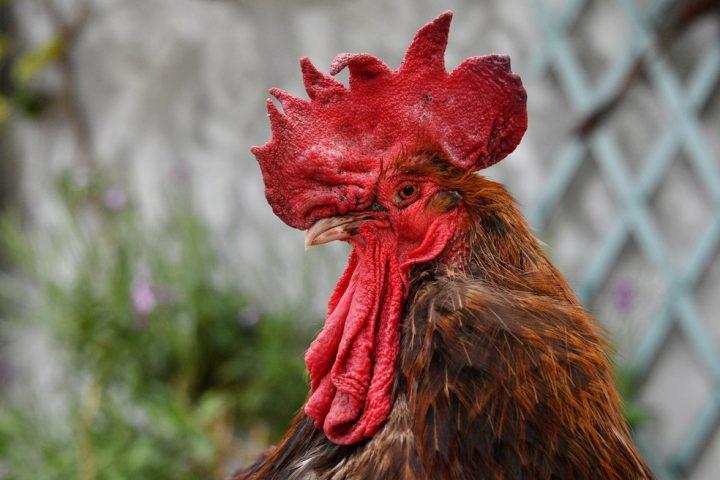galinhas-1